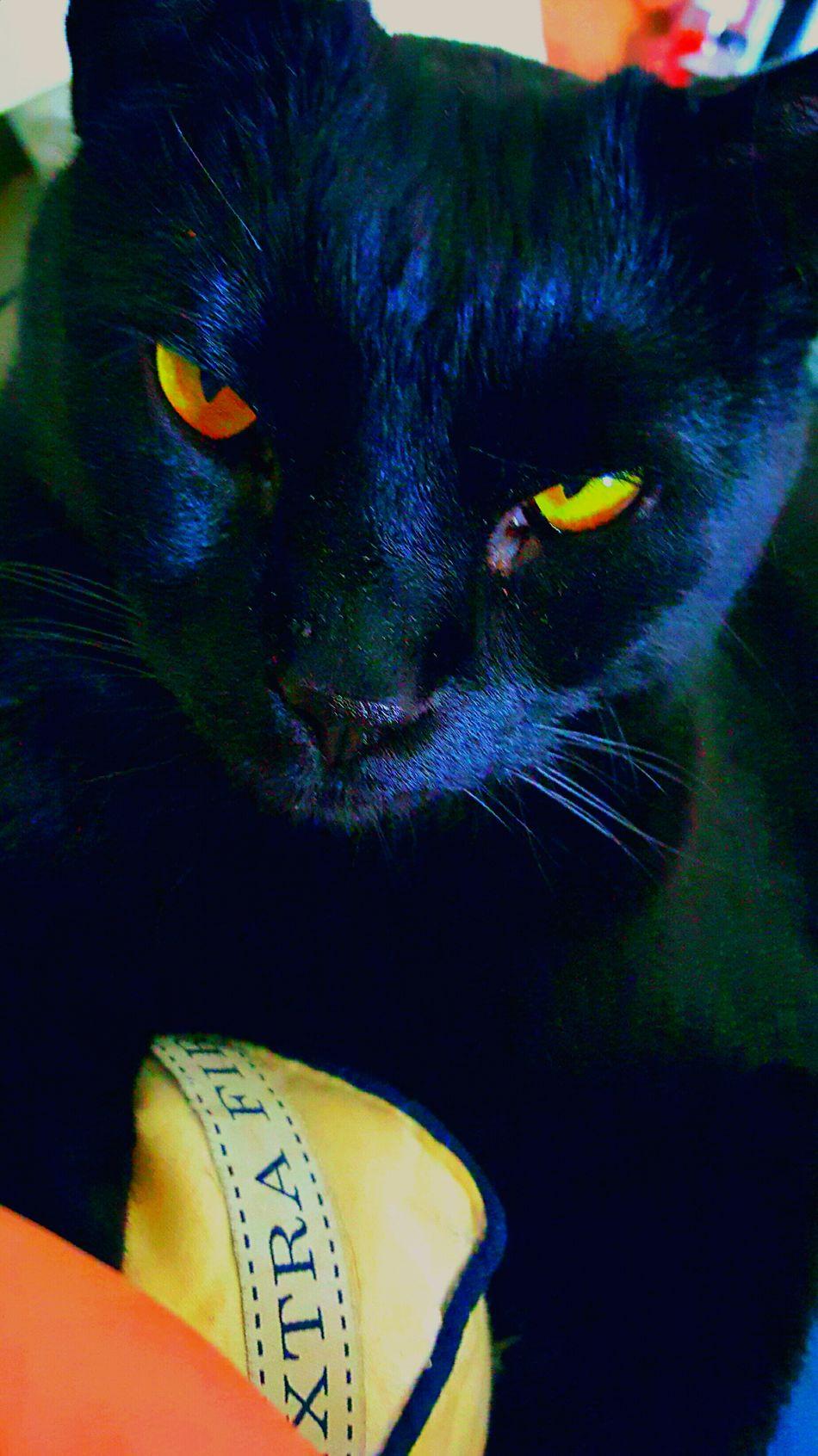 Mini Panther Bacardi Pets One Animal Animal Themes Domestic Animals Close-up Yellow Black Color Mammal Animal Body Part Yellow Eyes No People Animal Eye Indoors  Day