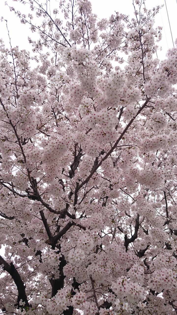 blossom, flower, cherry blossom, tree, cherry tree, springtime, fragility, branch, beauty in nature, nature, freshness, apple blossom, growth, pink color, orchard, botany, apple tree, low angle view, no people, cherry, day, twig, outdoors, plum blossom, backgrounds, close-up, flower head, sky