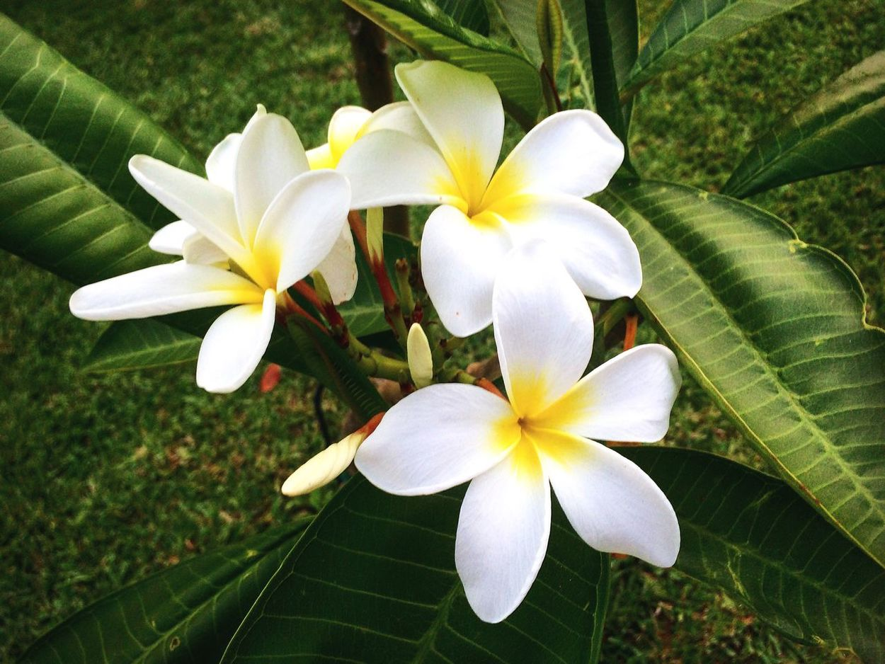 In full bloom Frangipani Plumeria Check This Out Hello World Taking Photos Enjoying Life Outdoors Beauty In Nature Enjoying Nature Enjoying The Sights Nature Flora Blossom Blooming White Tropical Green