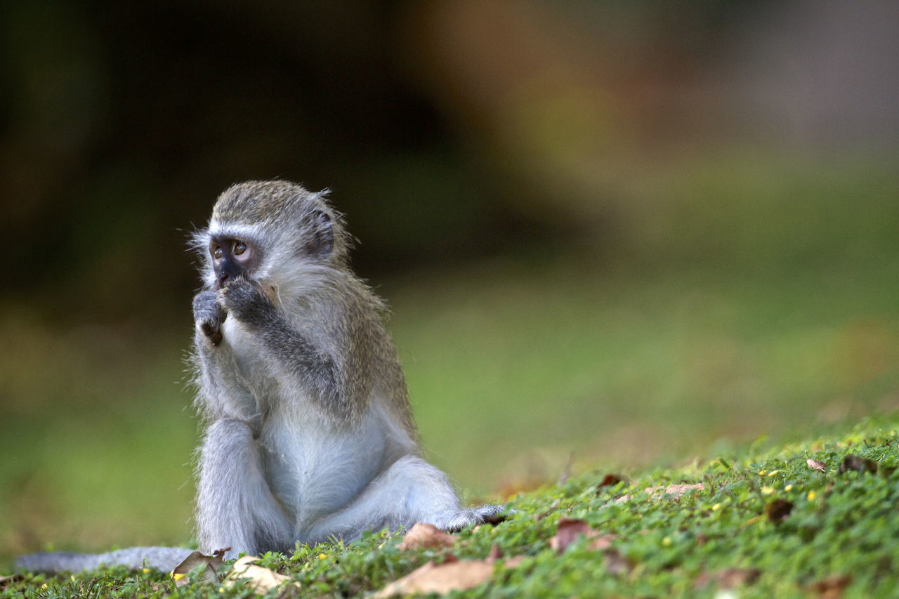 animals in the wild, animal themes, one animal, animal wildlife, mammal, monkey, sitting, outdoors, day, focus on foreground, nature, no people, grass, close-up