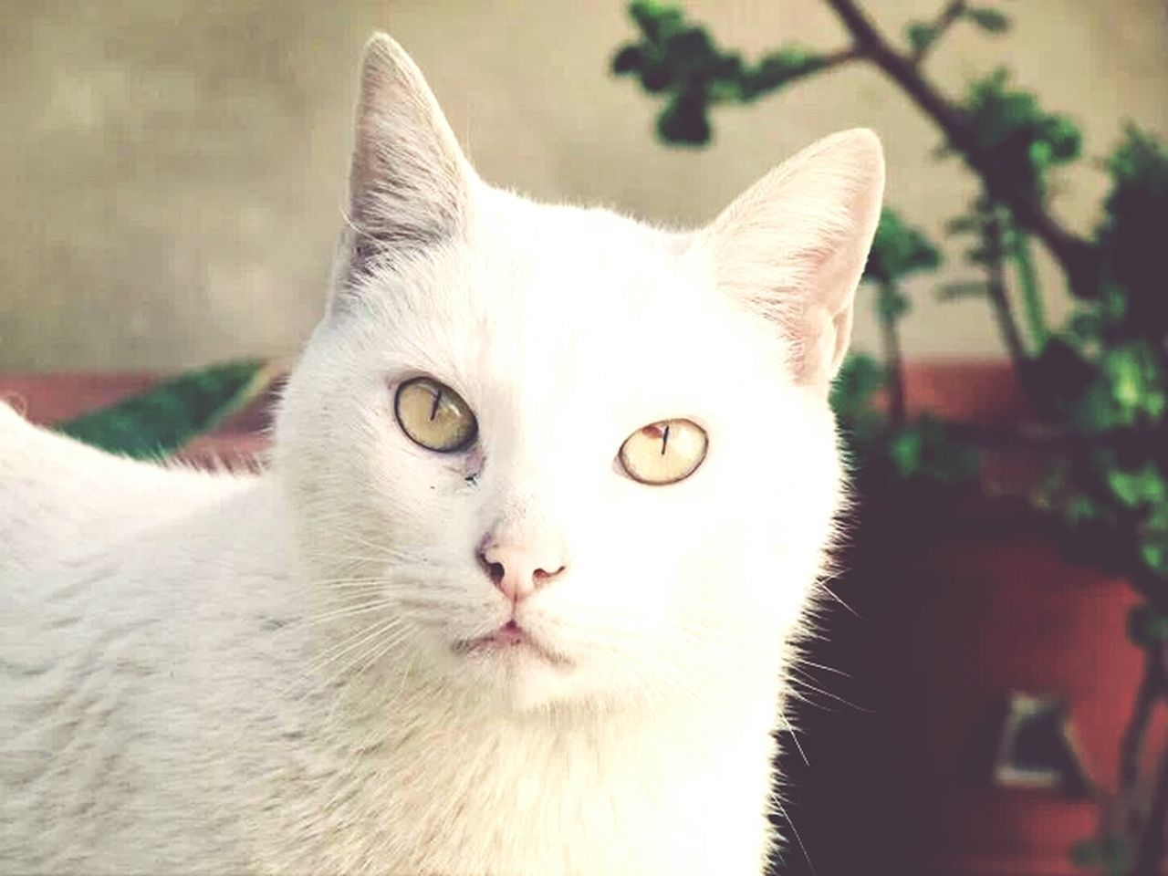 domestic cat, pets, domestic animals, one animal, feline, mammal, animal themes, portrait, looking at camera, close-up, no people, indoors, day, nature