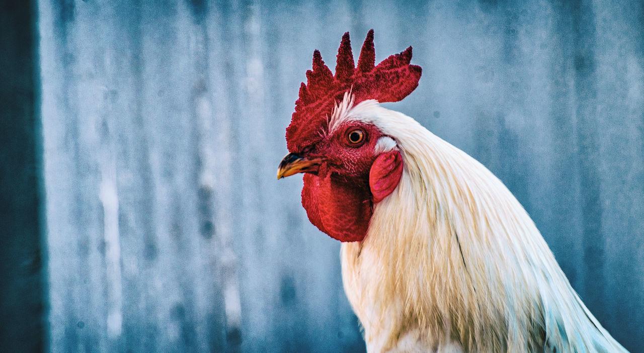 Beautiful stock photos of rooster,  Adult Animal,  Animal Crest,  Animal Themes,  Bird