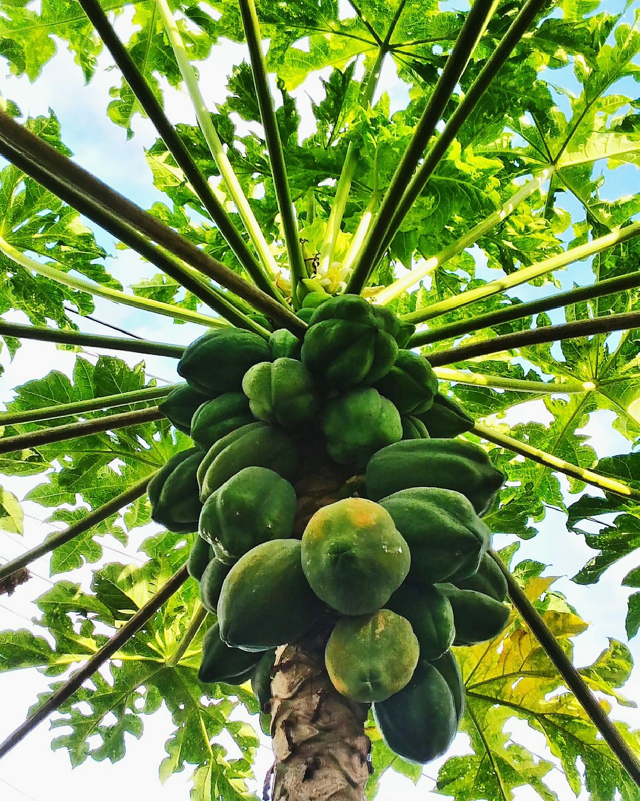 Papaya fruits Fruit Green Color Nature Low Angle View Growth Freshness Beauty In Nature No People Papaya Leaf Papaya Fruit Papaya_tree Papaya Papaya Leaves Green Green Green Green!  Green Plant Greenery Naturelovers Nature_perfection Nature Nature Is Art Plant Plantporn Fruitporn Fruits ♡