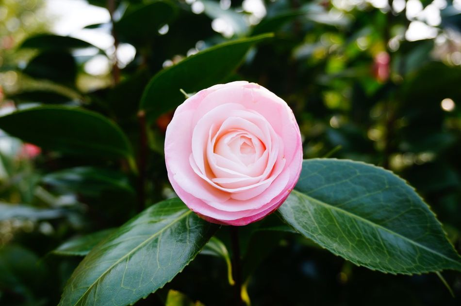 Beautiful stock photos of roses, beauty in nature, blooming, blossom, botany