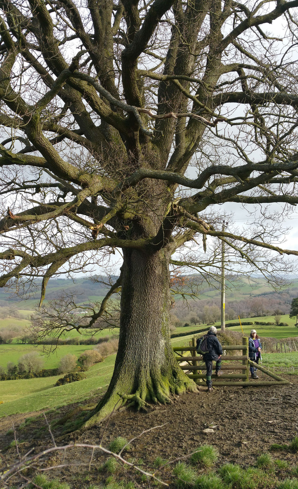 Tree Real People Nature Growth Outdoors Day Sky Beauty In Nature People Elderly Women Walking Hiking Ramblers Oak Wales Newtown Powys Newtown Nature Only Women Leisure Activity Women Around The World Britain
