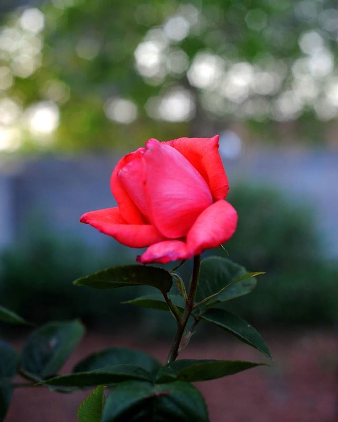 A rose by any other name would not smell as sweet. Rosé Flower Photography DSLR Nikon D700 Processed with DigiKam