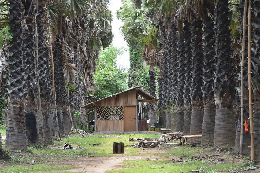 Abandoned Architecture Building Exterior Built Structure Day Grass Hut Nature No People Outdoors Plam Sugar Tree Tree Tree Trunk Wood - Material