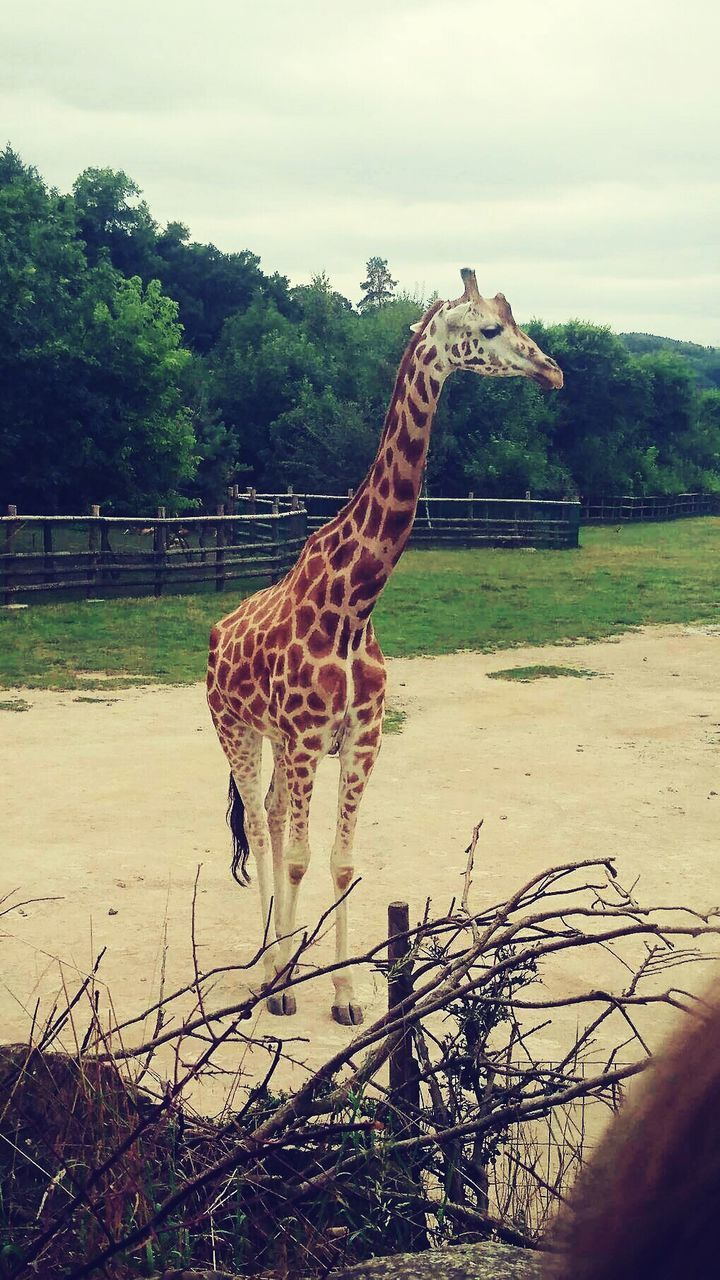 tree, animals in the wild, one animal, animal themes, field, landscape, nature, grass, day, mammal, giraffe, outdoors, full length, side view, animal markings, animal wildlife, safari animals, sky, standing, no people, beauty in nature