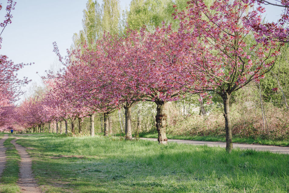 pink japanese cherry tree blossoms against blue sky Beauty In Nature Berlin Lifestyle Blue Sky Copy Space Field Green Grass Japanese Cherry Blossom Tree Japanese Cherry Blossoms Japanese Cherry Tree. Nature Outdoor Park Pattern Pink Blossoms Scenic Landscapes Scenic View Spring Spring 2017 Spring Flowers Spring In The City Springtime Tranquility