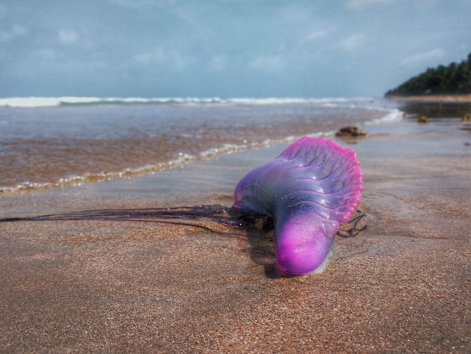 Washed ashore Nature's Diversities Beach Beach Photography Island Trinidad And Tobago Jellyfish Portuguese Man O' War Beach Find PhonePhotography Caribbean The Great Outdoors - 2016 EyeEm Awards The Essence Of Summer