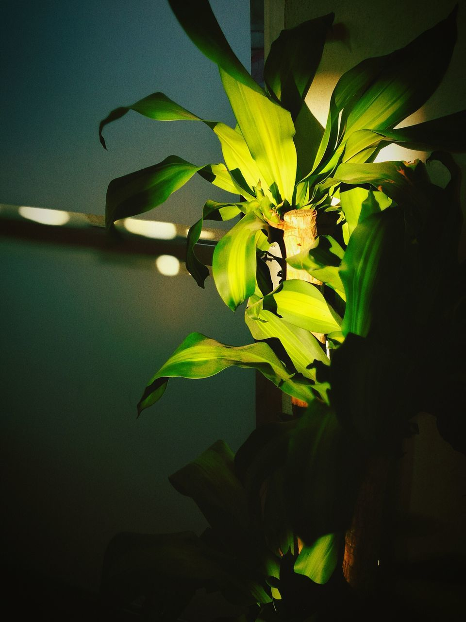 flower, nature, beauty in nature, leaf, growth, plant, petal, freshness, yellow, no people, fragility, close-up, indoors, flower head, day