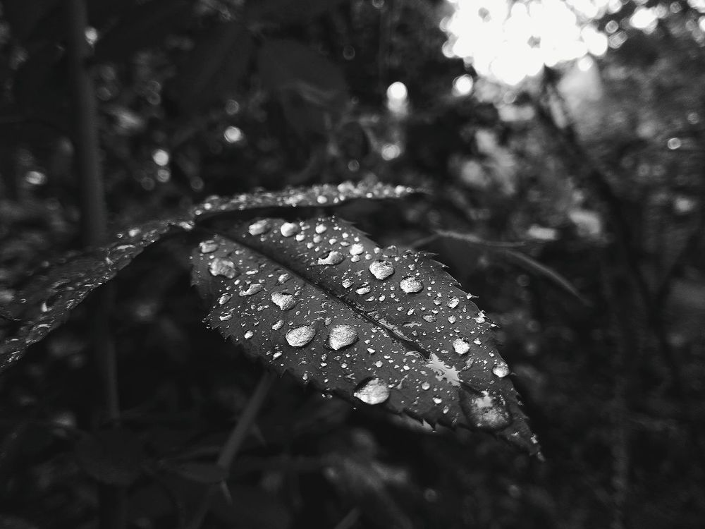 Leaf Leaf Drops Of Water Rainy Days Nature Outdoors Blackleaves