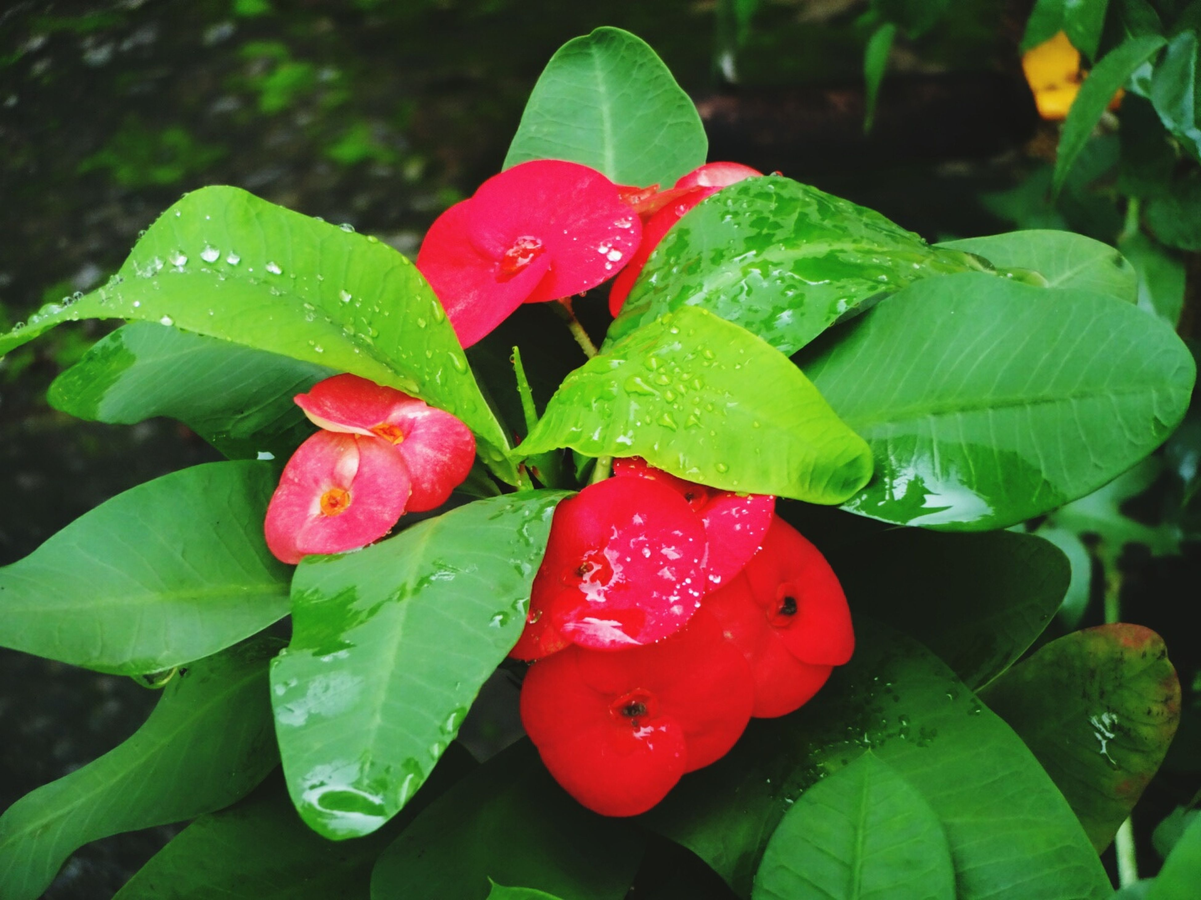 leaf, red, growth, freshness, green color, close-up, plant, beauty in nature, nature, flower, fragility, petal, focus on foreground, drop, high angle view, leaf vein, wet, outdoors, day, no people