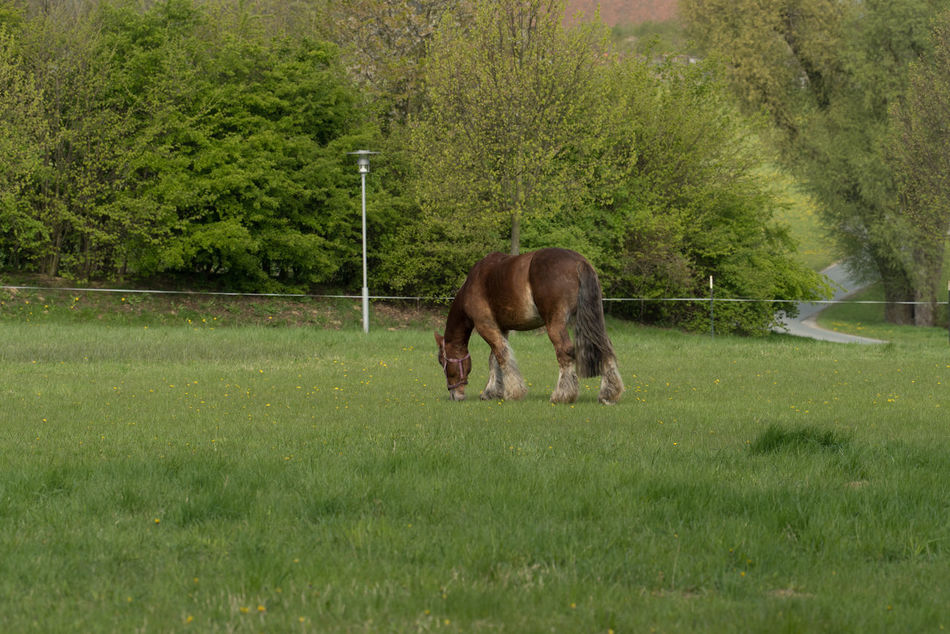 Horse (Ardenner) Animal Themes Animals Grazing Horse Growth Horse No People One Animal Outdoors Spring Springtime Working Animal