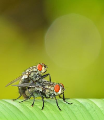Love Is In The Air Insect Animals In The Wild Animal Themes Leaf No People Close-up Nature Housefly Outdoors Day Mating Pair Of Insects Mating Fly Mating Insect The Week On EyeEm Macro Photography Macro_collection Green Color Macro Nature EyeEmNewHere Macro Beauty EyeEmBestPics Beauty In Nature