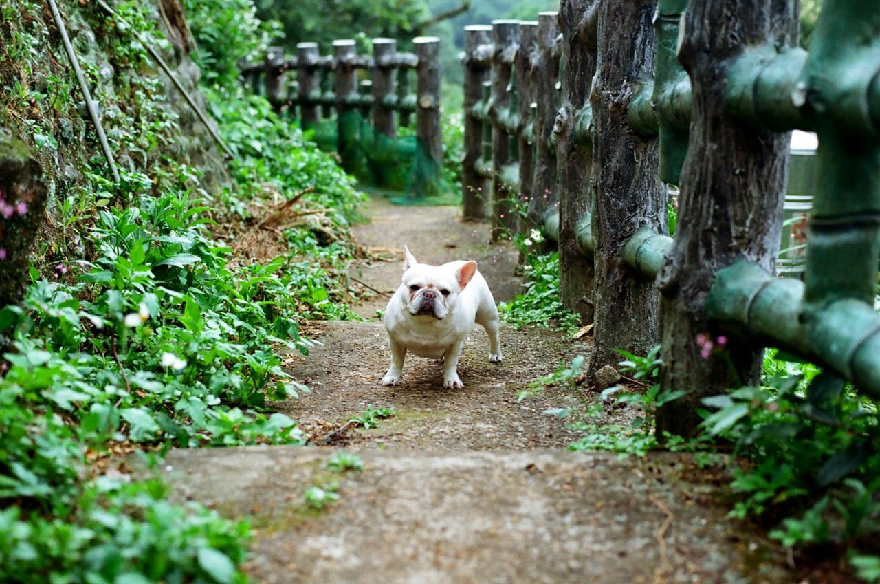 Secret Garden Dog Frenchbulldog French Bulldog Dog Love Playing With The Animals 犬 Pets Corner Plants And Flowers Country Road 鐵蛋 The Secret Spaces Long Goodbye