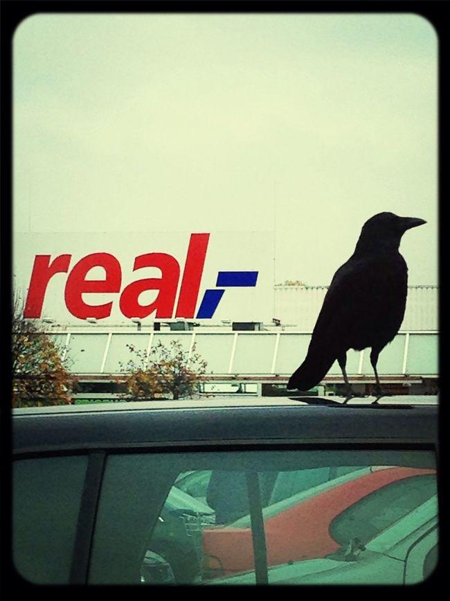 Birds Black Raven Shopping