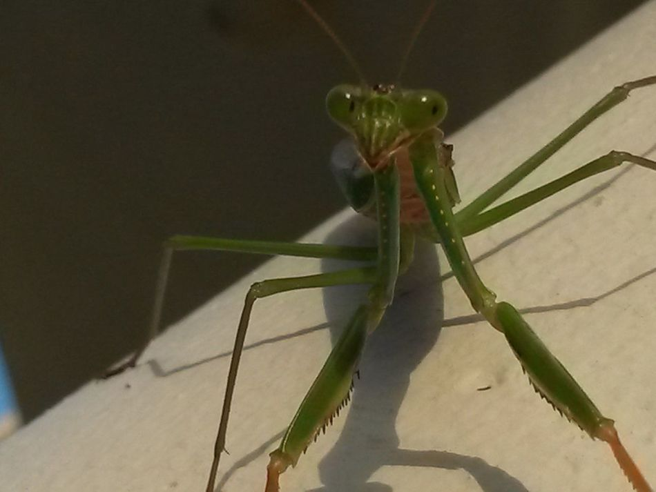 Insect Photography Insect Insects Collection Insect_perfection EyeEm Best Shots - Nature On My Balcony Praying Mantis Great Model Green Colour South Africa Port Edward Carnivorous Macro Close Up Macro Beauty Macro Photography Beautiful ♥