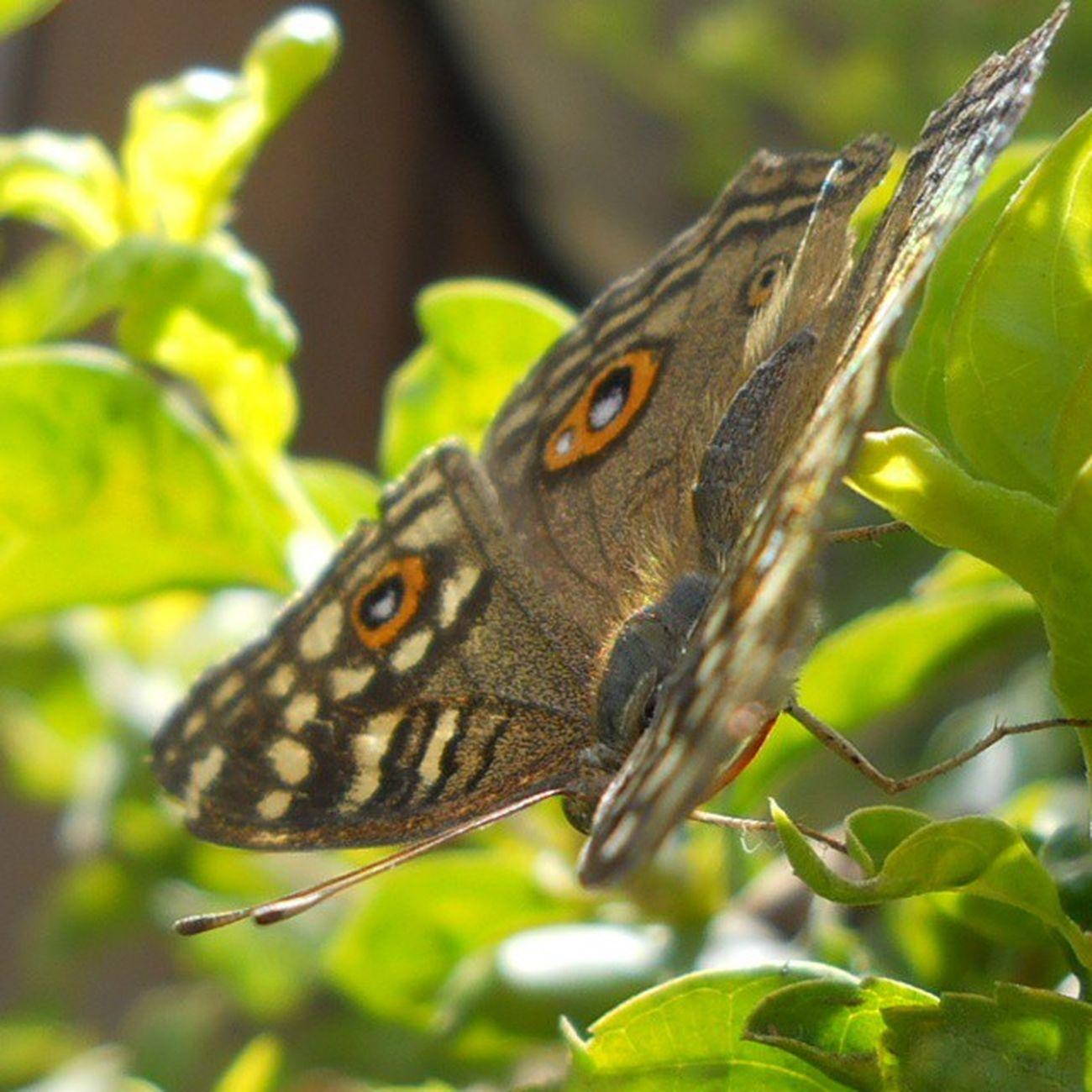 I do not know whether I was then a man dreaming I was a butterfly, or whether I am now a butterfly dreaming I am a man.......... Nofliters Photoartegram Photographyislifee Photooftheday Ptk_macro Ptk_nature Instaamici Ig_captures_macro Igclubbutterfly Insects  Ig_today Ig_india Skymasters_jointhefamily Macro_perfection Macro_ig Macroworld_tr Fotoartegram Global_family Princely_shotz Ig_photooftheday Ig_shots Igs_asia Ig_camera_united Gf_india Igersbestshot igersblog macrophotography macro_kingdom macro_premier tagsforlikes