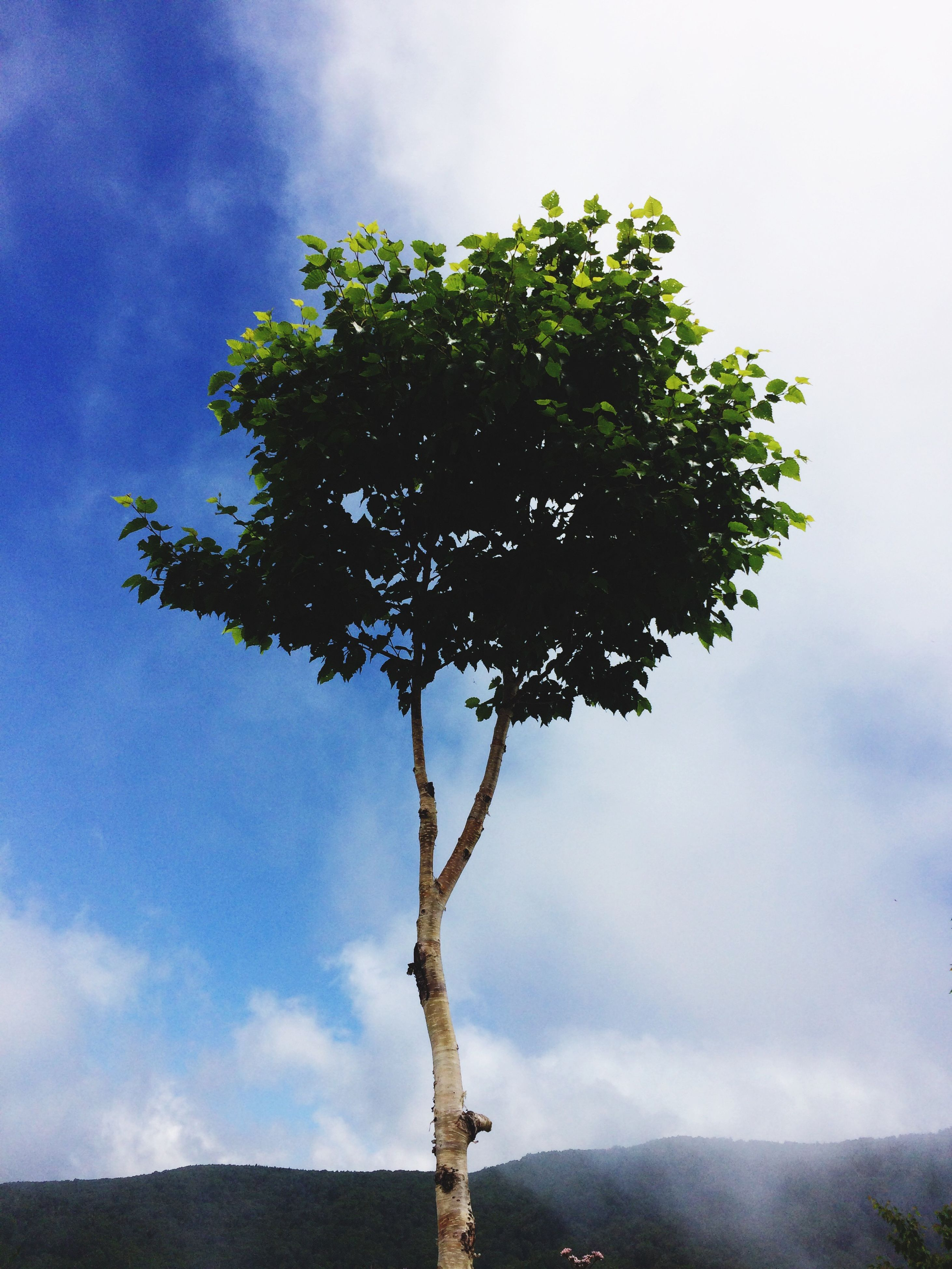 tree, sky, nature, growth, no people, cloud - sky, beauty in nature, low angle view, tranquility, outdoors, day, single tree, freshness