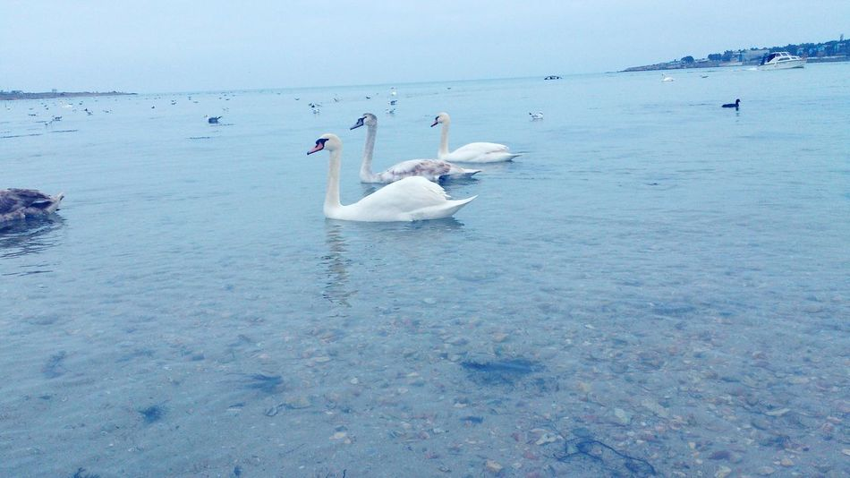 Swans in Sevastopol  Water Bird Nature Animal Wildlife Animal Themes Crimea Sea Animals In The Wild Outdoors Swimming Beauty In Nature No People Day Sky