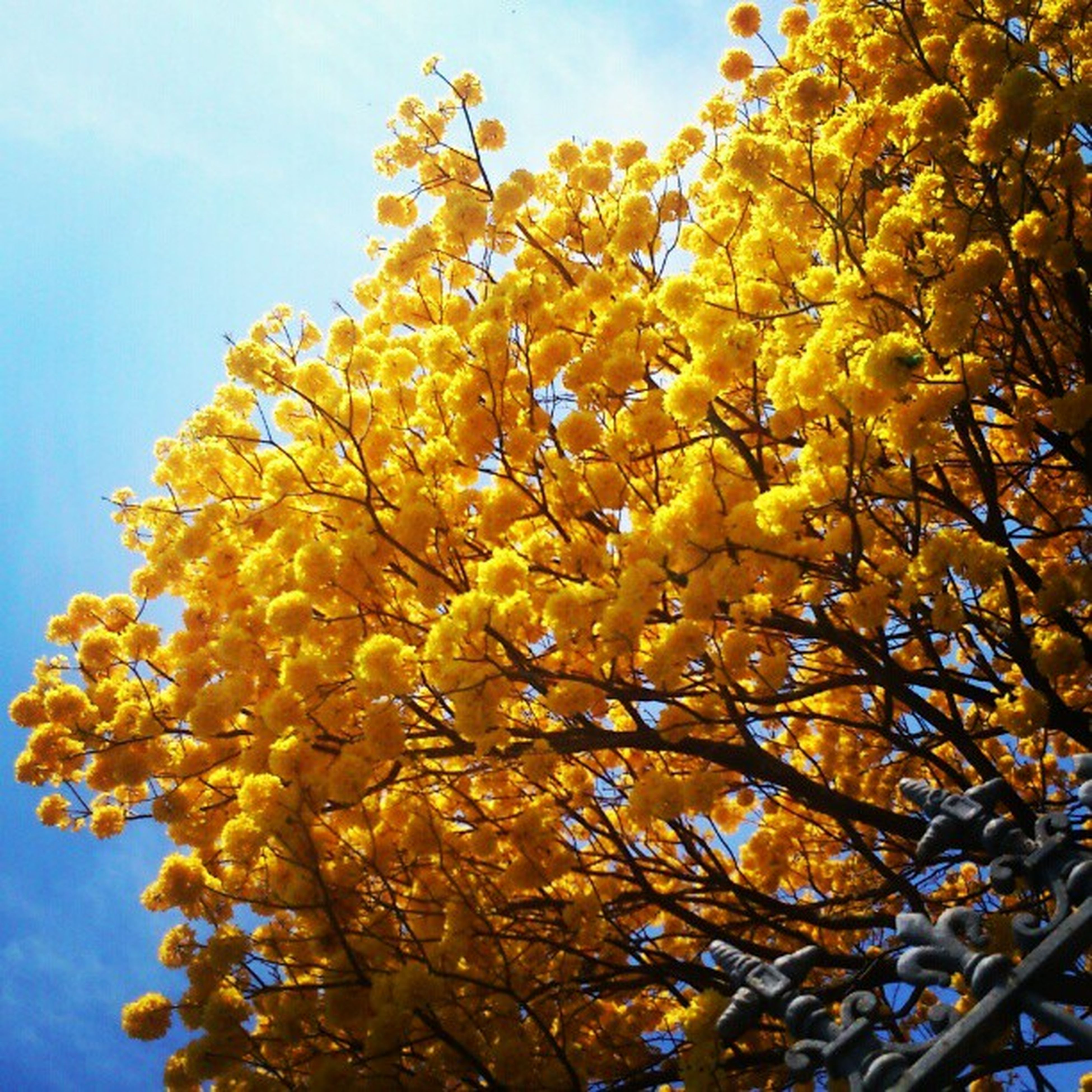low angle view, yellow, tree, branch, autumn, growth, nature, sky, change, season, leaf, beauty in nature, close-up, tranquility, day, no people, outdoors, clear sky, sunlight, freshness