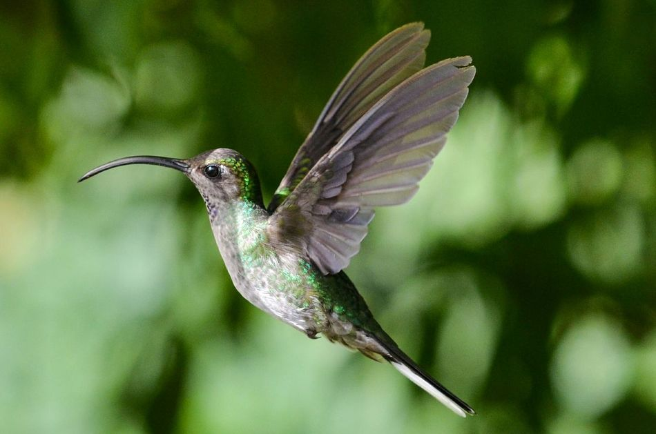 Beautiful stock photos of kolibri,  Animal Wildlife,  Animals In The Wild,  Bird,  Close-Up