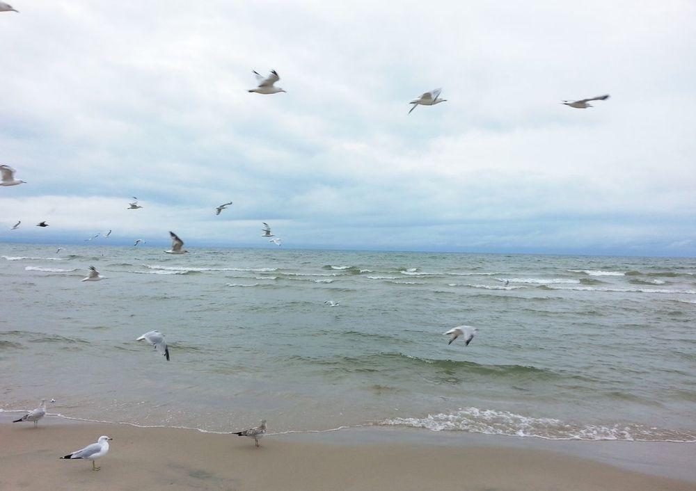 Beach Flock Of Gulls In Flight