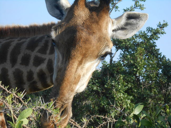 Nofilterneeded Giraffe Hluhluwe Kzn Throwback 2013 Journey School Trip Matric Best Eyeem Pics BestEyeemShots EyeEm memories. ❤❤ took this with a Canon camera 😊