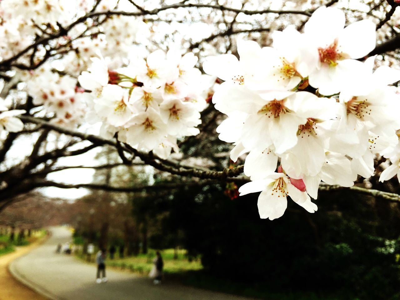 flower, tree, cherry blossom, freshness, cherry tree, branch, fragility, growth, blossom, white color, petal, beauty in nature, nature, focus on foreground, blooming, in bloom, springtime, fruit tree, park - man made space, day
