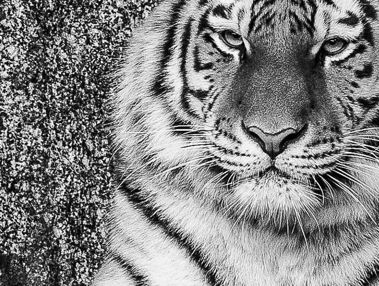 Animal Themes Tiger Close-up Portrait Black & White No People Monochrome Photography Looking At Camera Zoo Animals