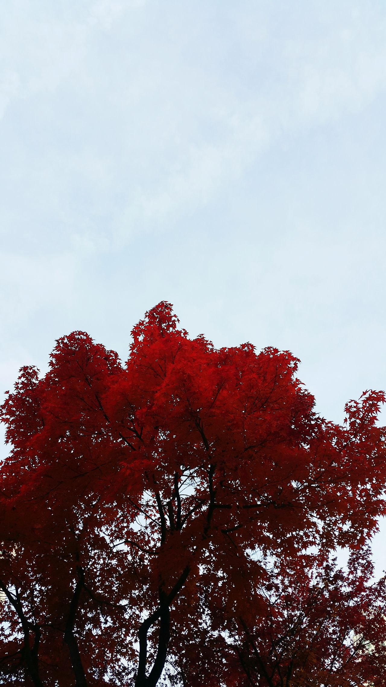 Red Sky Nature Tree Beauty In Nature Outdoors Capture The Moment Relaxing Moments Maple Tree Maple Leaf 😚 Calm And Quiet Autumn🍁🍁🍁 EyeEm Gallery 2016 EyeEm Awards Autumn 2016 LongTime  Nostalgia Fall Beauty Autumn Colors HASHTAG