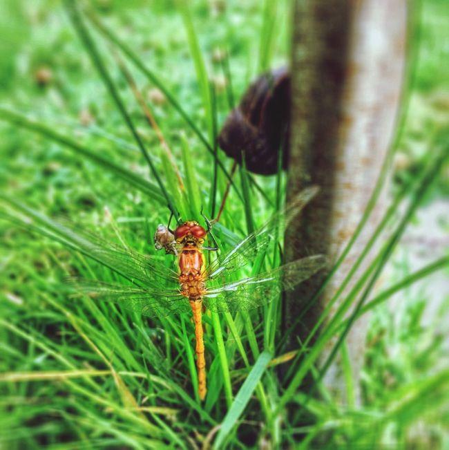 Dragonfly in my garden this summer First Eyeem Photo