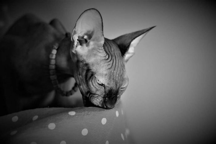 One Animal Animal Themes Mammal Close-up People Portrait Pets Indoors  Domestic Animals Sphynx Cat Cat Animal Body Part Young Animal Sphynxlove Sphynxportrait Animal Nature Sphynx Cute No People Day