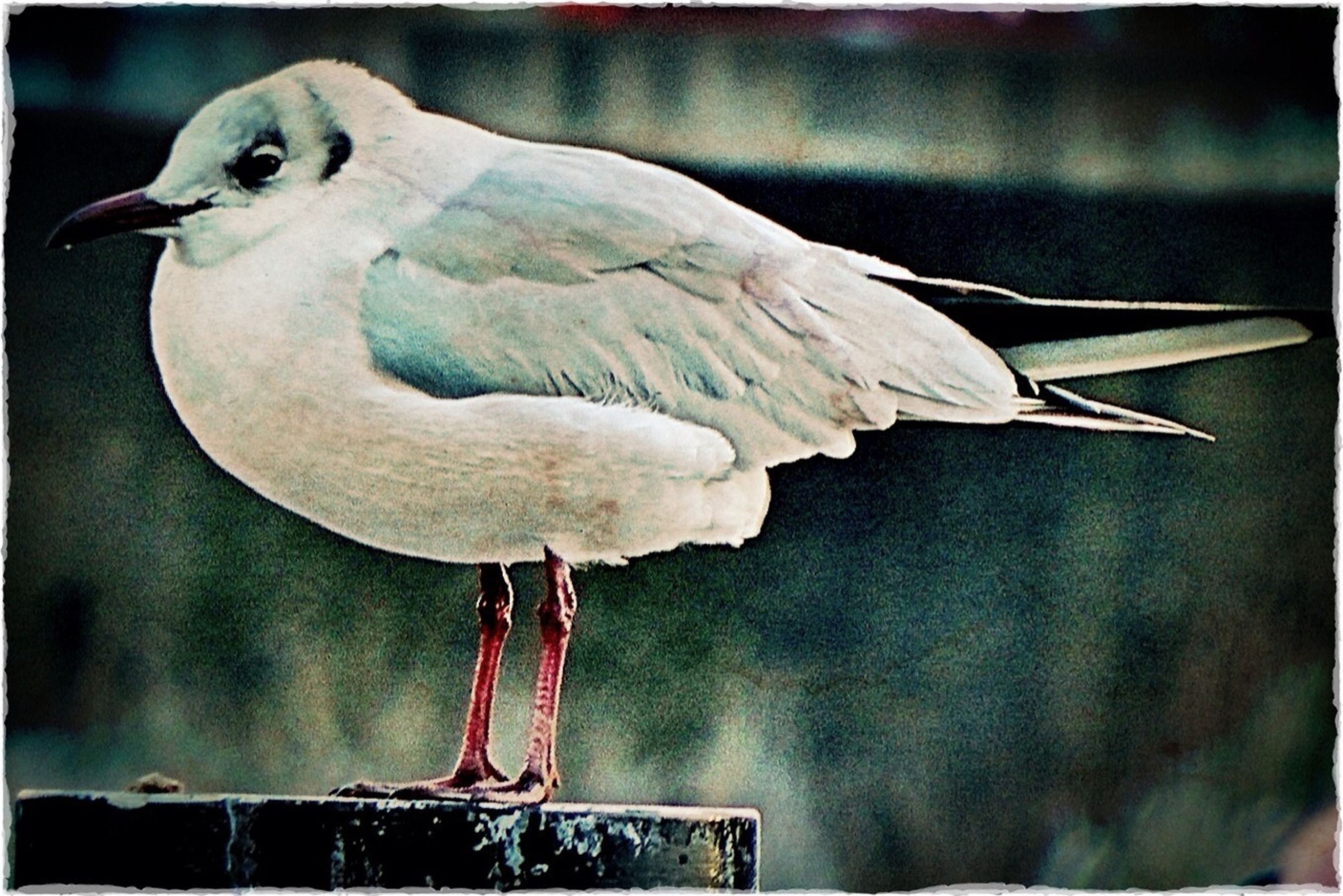 bird, transfer print, animal themes, auto post production filter, one animal, animals in the wild, wildlife, close-up, focus on foreground, perching, seagull, indoors, beak, no people, day, full length, animal representation, two animals, metal