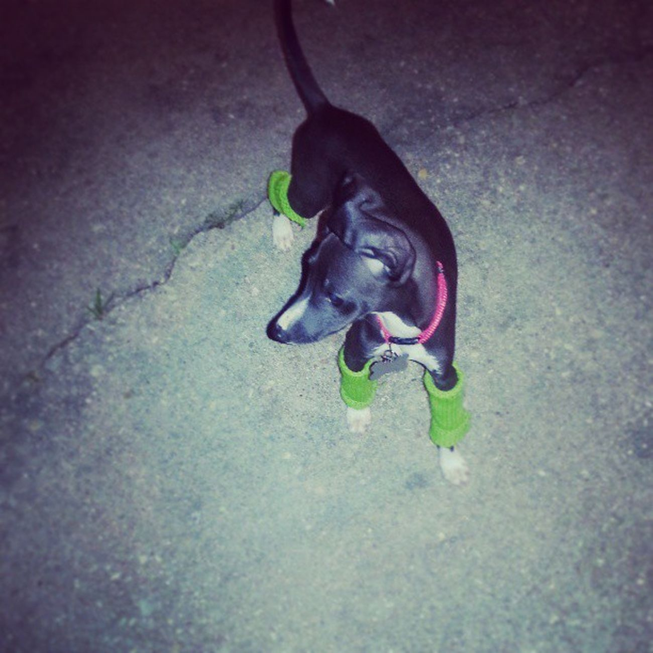 Bane and his leg warmers :) Bane Puppylegwarmers Italiangreyhoundofinstagram