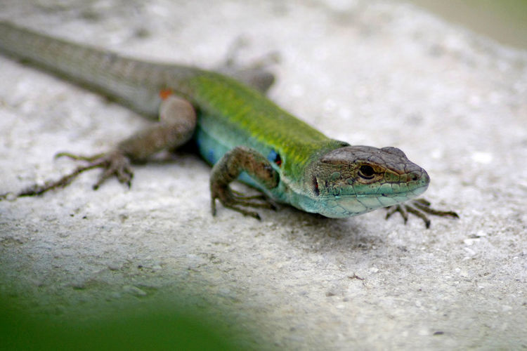 Lizard Lizard Close Up Lizards Animal Themes Animal Wildlife Animals In The Wild Close-up Day Green Color Nature No People One Animal Outdoors Reptile