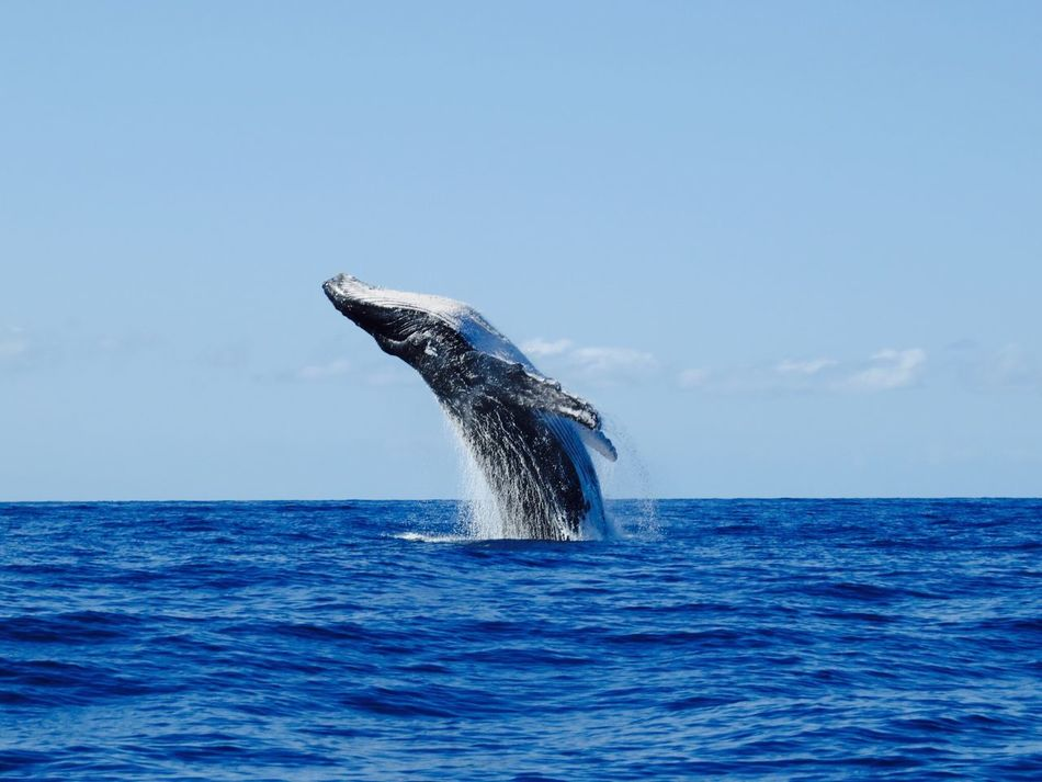 Beautiful stock photos of whale, Animal Themes, Animals In The Wild, Aquatic Mammal, Beauty In Nature