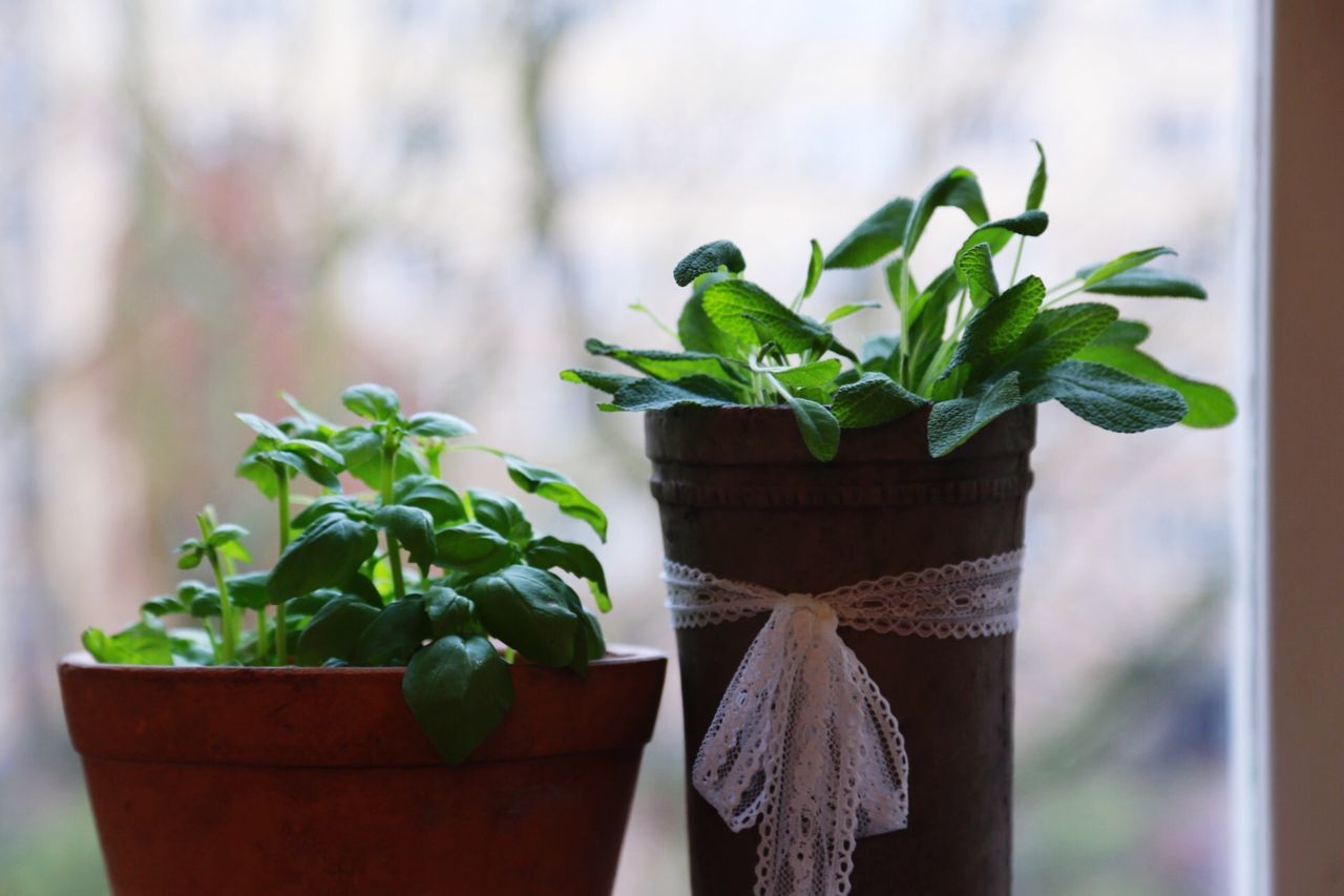 Window In The Window Plants Plant Kitchen In The Kitchen Kitchen Utensils Food Herb Herbs Basil Basilica Sage Growing Growth