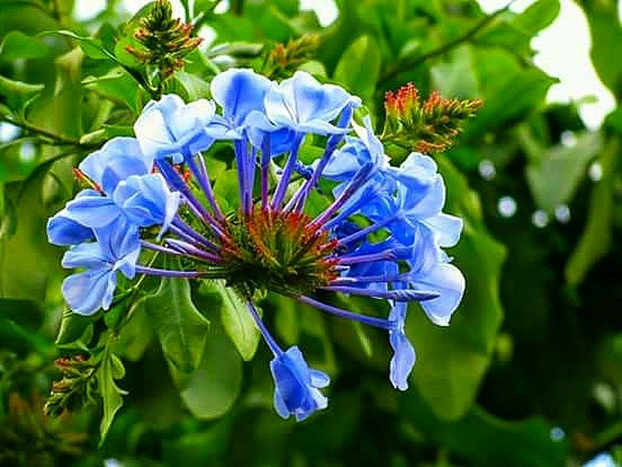flower, petal, fragility, flower head, beauty in nature, nature, growth, blossom, plant, botany, freshness, blue, purple, springtime, close-up, outdoors, no people, stamen, day, leaf, botanical garden, multi colored