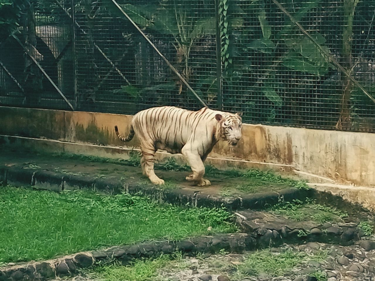 White Tiger Tiger One Animal Animal Themes Mammal Zoo Walking Animal Wildlife Outdoors Day Animals In The Wild White Tiger No People Grass Nature INDONESIA Beauty In Nature