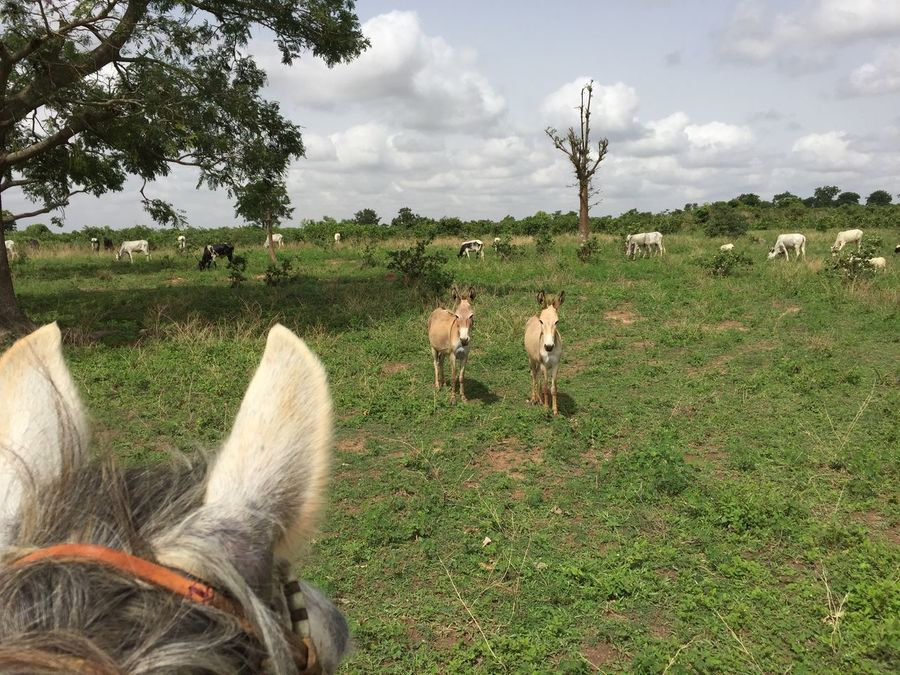 Animal Themes Beauty In Nature Cow Day Domestic Animals Donkey Field Grass Grazing Growth Kaduna Landscape Large Group Of Animals Livestock Mammal Nature No People Outdoors Sky Tree