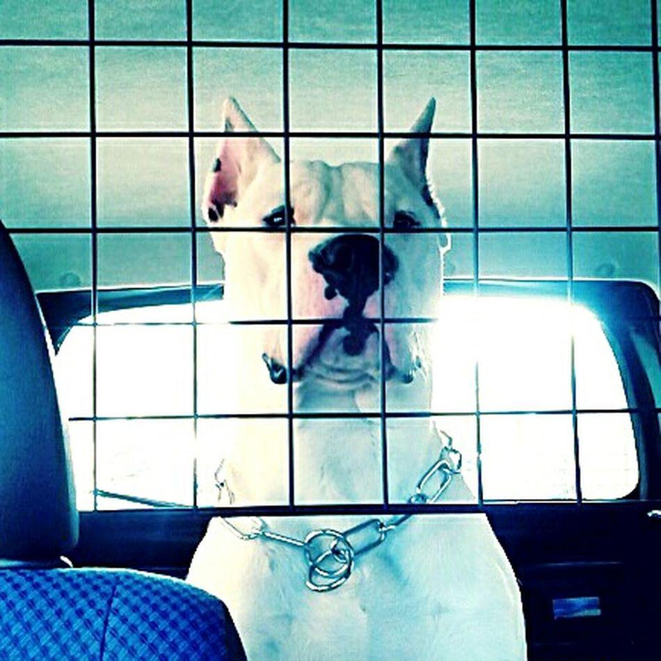 Pablo♡ Dogo Dogo Argentino Vita Mybestfriend White Mylove Prince  Swett in Palermo,Sicilia
