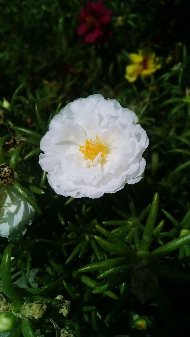 Bachelor Buttons Flower