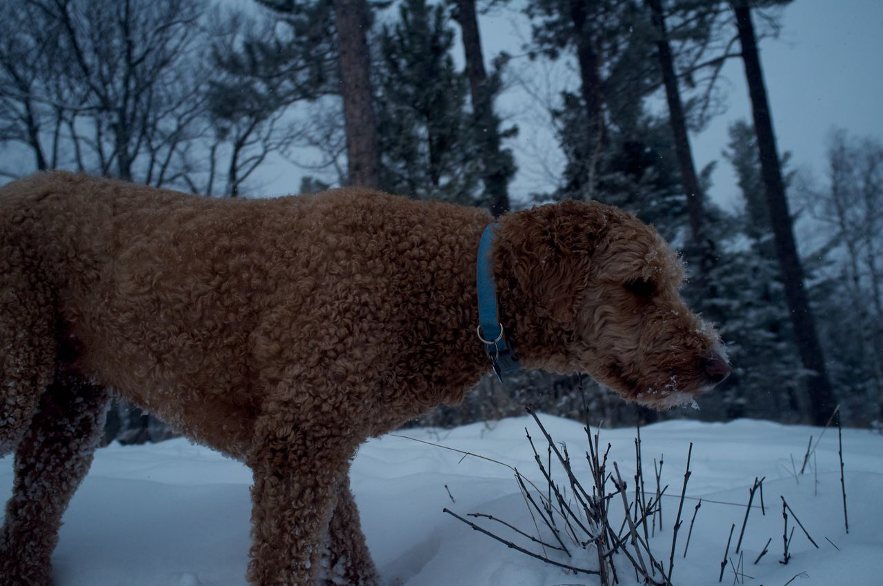 January 26, 2016 Abundance Animal Themes Close Up Cold Cold Temperature Covered Covering Curiosity Day Dog Domestic Animals Duluth Goldendoodle Minnesota No People One Animal Outdoors Relaxation Relaxing Season  White White Color Zoology