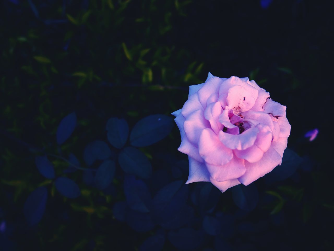 flower, petal, rose - flower, nature, beauty in nature, flower head, fragility, freshness, no people, close-up, outdoors, blooming, growth, plant, day