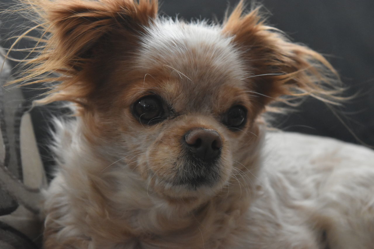 Dog Looking At Camera Portrait Pets One Animal Domestic Animals Animal Themes Mammal No People Close-up Indoors  Nature Day Cavalier King Charles Spaniel NikonD5500 Photo♡ Roomview Pet Pet Photography  Photos