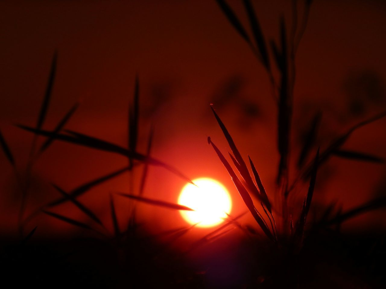 sunset, sun, orange color, nature, silhouette, beauty in nature, sunlight, sky, scenics, no people, outdoors, plant, red, growth, close-up, flower, tree, day