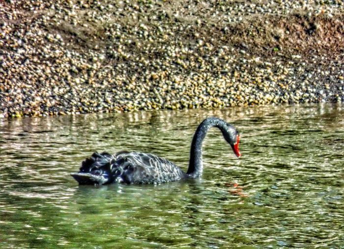 Swan Hdr Edit HDR Drama Filter