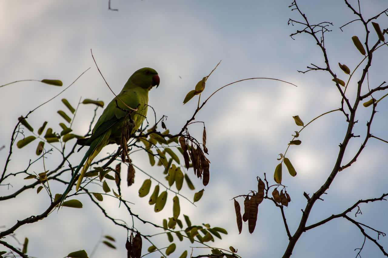 Animal Themes Animals In The Wild Beak Beauty In Nature Bird Branch Cotorra Cotorra De Kramer (Psittacula Krameri) Cotorras En La Ciudad Day Green Color Low Angle View Nature No People One Animal Outdoors Parque Amate Perching Sevilla Sky Tranquility Tree Wildlife Zoology